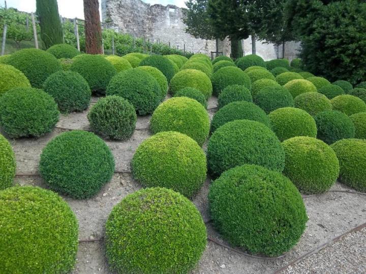 topiary plant